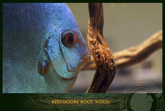 reedmoore root wood