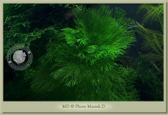 limnophila acquatica