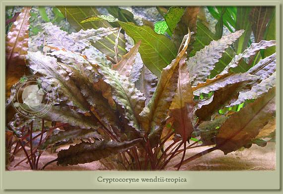 criptocoryne wendtii