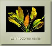 ecinodorus osiris