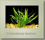 echonodorus tenellus