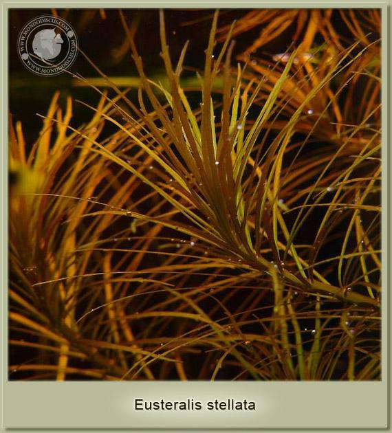 eusteralis stellata