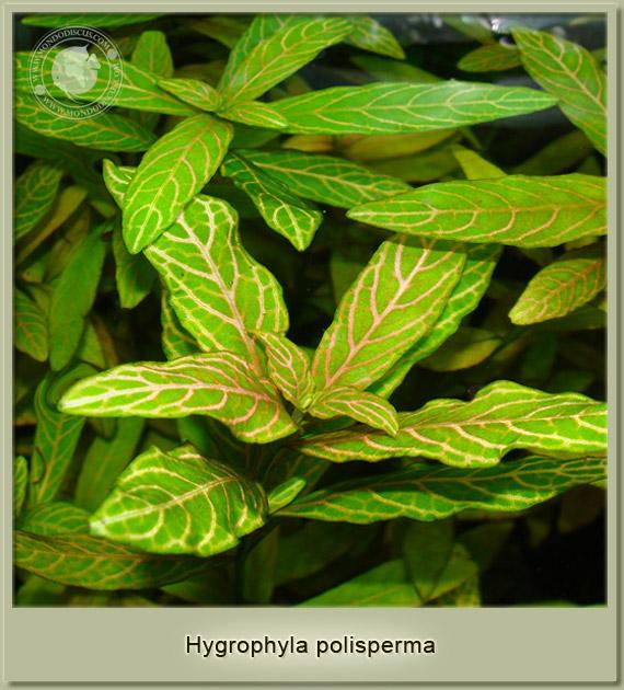 hygrophyla polismerma