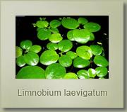 limnobium laevigatum