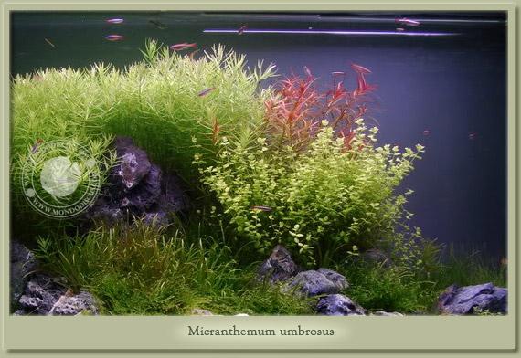 micranthemum umbrosus