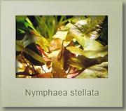 nymphea stellata