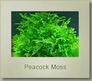 peacock moss