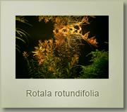 rotala rotundifolia