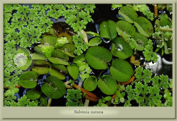 salvinia natans