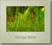stringy moss