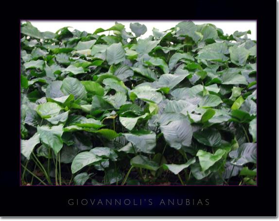 piante del genere Anubias