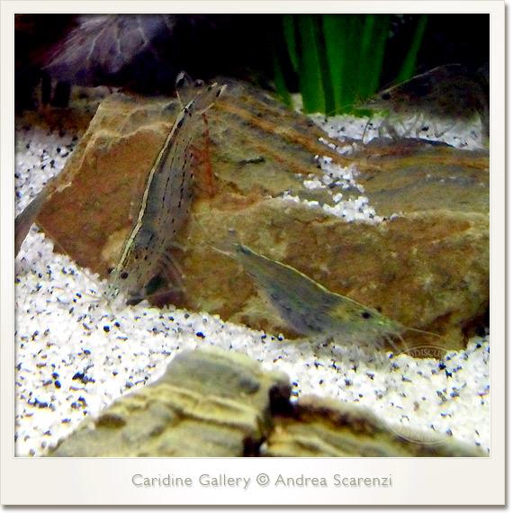 caridina japonica