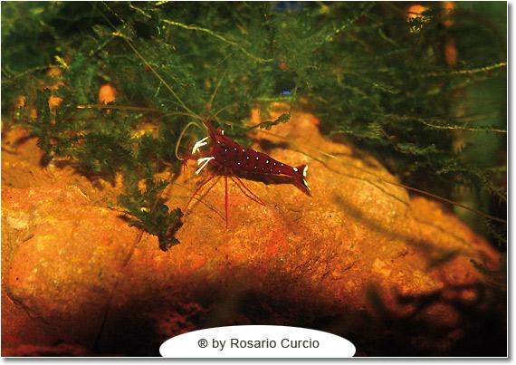 Caridine del Sulawesi: cardinal
