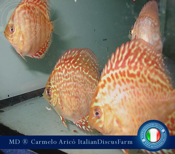 Italian Discus Breeder