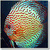 Discus mosaic Dream