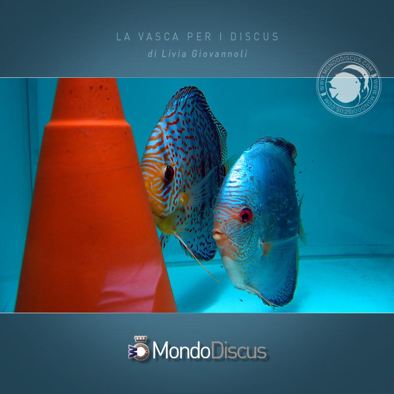 AquarioDiscus8