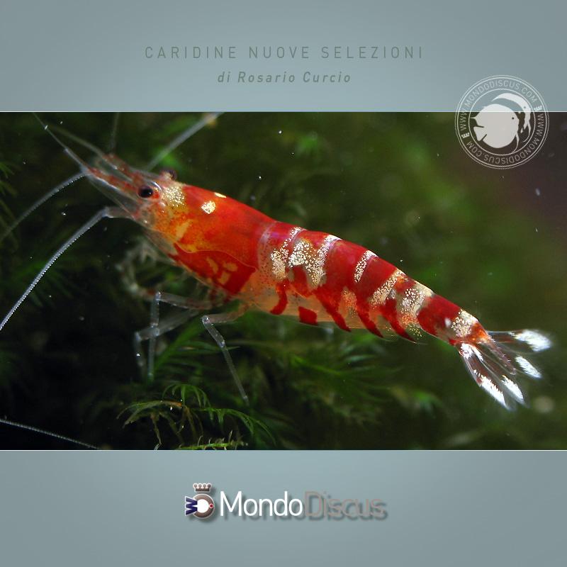 CaridineRosarioMD7