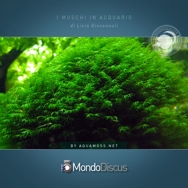 Fissidens-fontanus-08