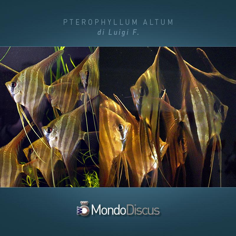 MasterArticoli-PterophyllumAltum1