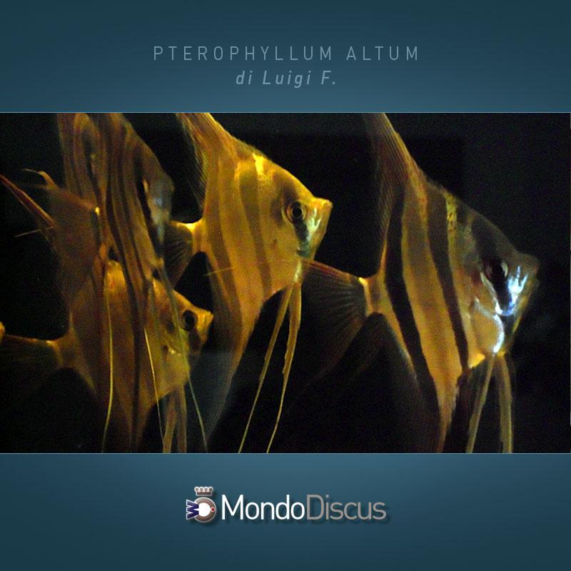 MasterArticoli-PterophyllumAltum2