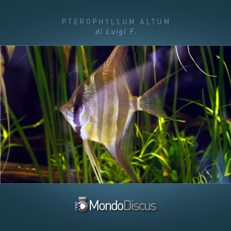 MasterArticoli-PterophyllumAltum7