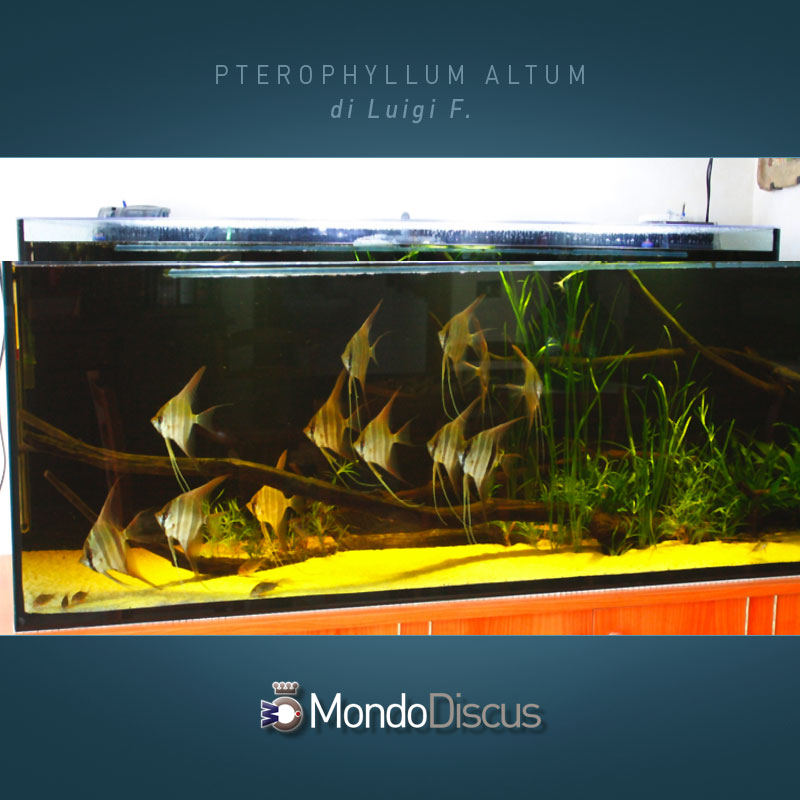 MasterArticoli-PterophyllumAltum8