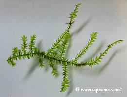 rhizoids-on-singapore-moss-s