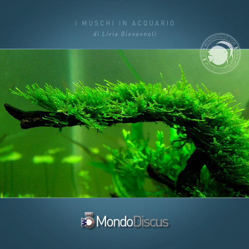 vescularia-montagnei